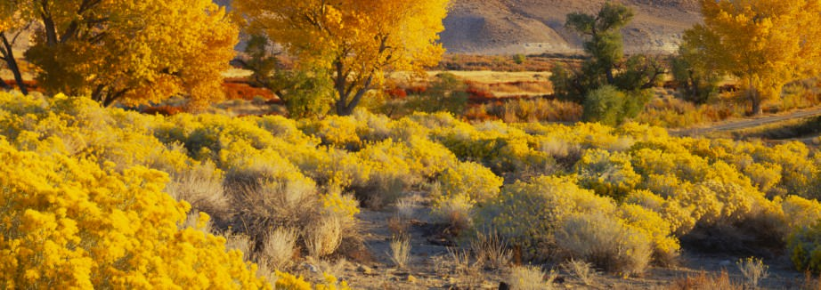 Autumn Cottonwood Trees